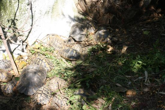 Achladies Apartments: resident turtles in their sanctuary
