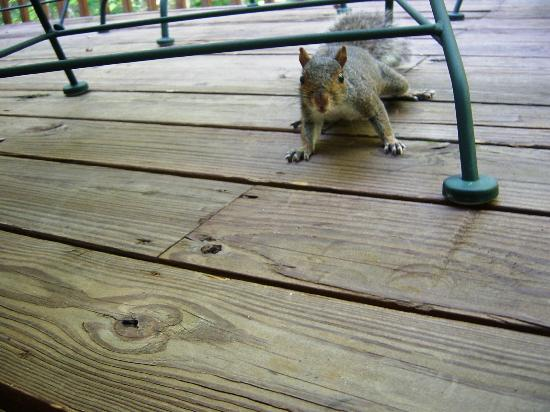 Fox Run Resort: squirrel on back deck