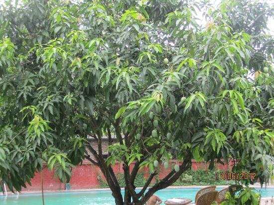 Leisure Vacations Myrica Resort: Mango Trees
