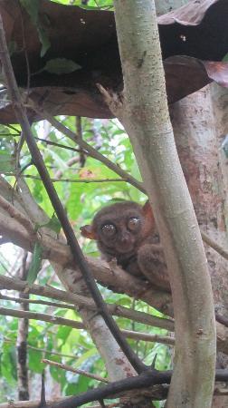 Reggae Guesthouse: tarsier