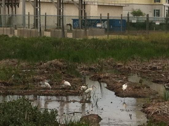 Laguna Madre Nature Trail : white ibises w/ water treatment plant graff in bg