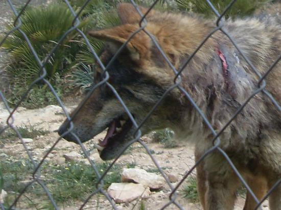 The 'Alpha Female'  - Picture of Lobo Park, Antequera