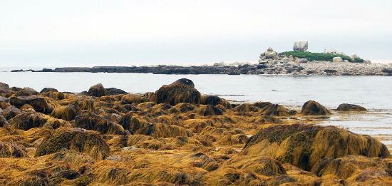 Oceanstone Resort: rockweed