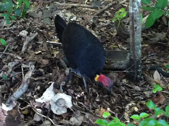 Gemini Court Holiday Apartments: Bush turkeys come visiting to Gemini Court from the National Park