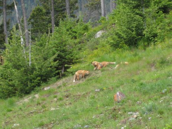 Cameron Lake: den of foxes