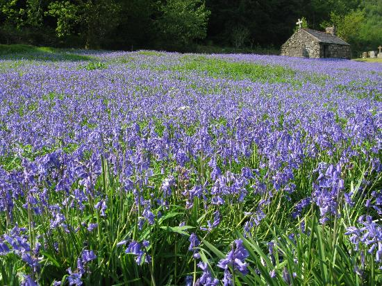 Discover Scotland Tours : Beautiful Scottish Bluebells