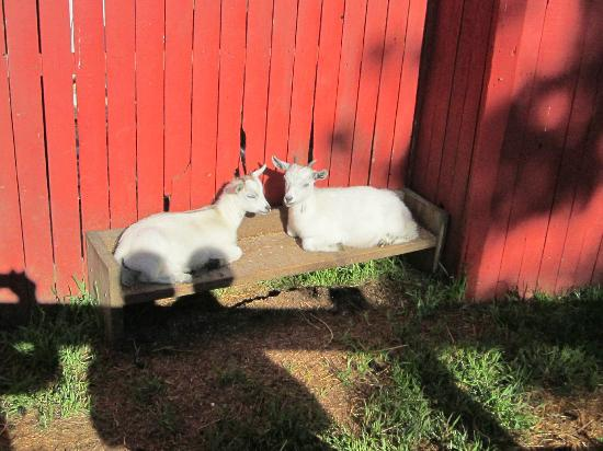 Hershey Farm Inn: goats you can feed