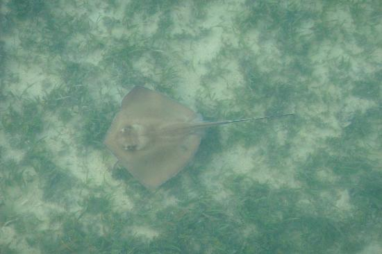 Seven Mile Bridge : Some type of ray