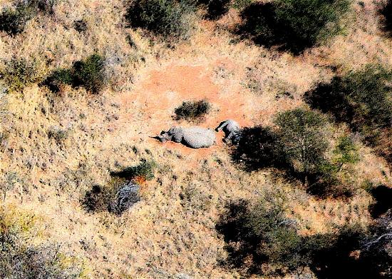 Sausage Tree Safari Camp: Mother and baby rhino spotted from ultralight! The last of the Big Five!