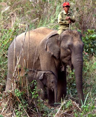 Elephant Conservation Center: A second baby,mother and mahout.