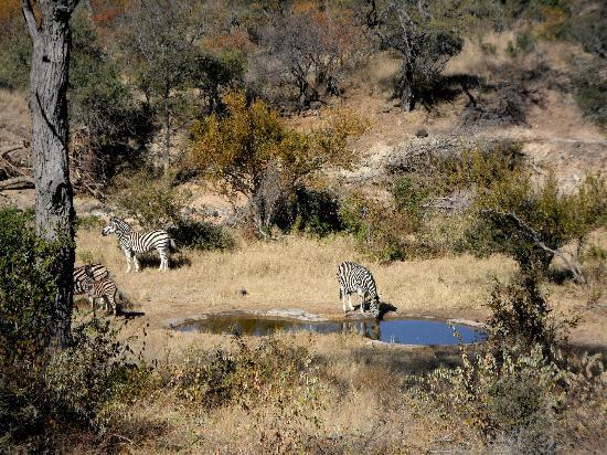 Sausage Tree Safari Camp: The view from the lodge deck. Moments before I grabbed my camera there were 20 zebras drinking!