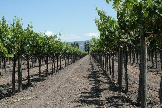 Paradigm Winery: Vineyard Shot 1