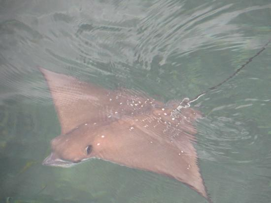 Cerf Island Resort: Sting ray on the Jetty