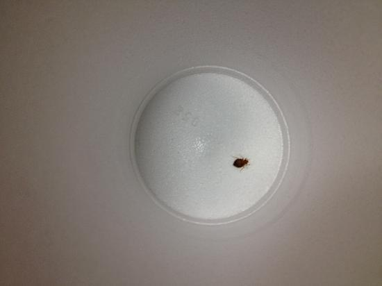 Essington, Pensilvania: Bed Bug #1