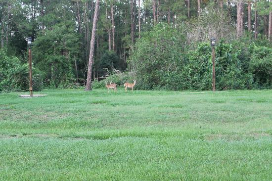 The Campsites at Disney's Fort Wilderness Resort: Deer running around the grounds