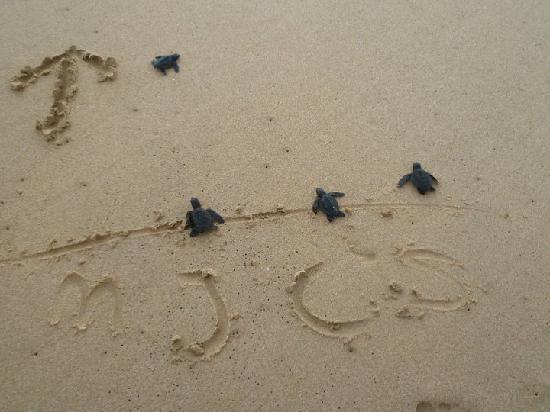 Хикадуа, Шри-Ланка: Schildpadden vrij laten