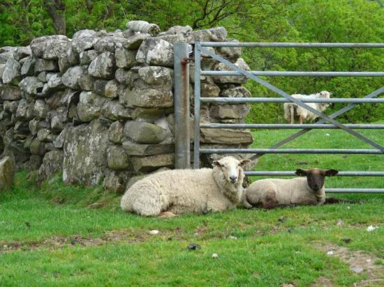 Tyddyn Mawr Farmhouse: Sheep outside of the B&B