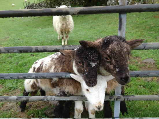 Tyddyn Mawr Farmhouse: Cute Baby lamb trying to squeeze out when we went pass them