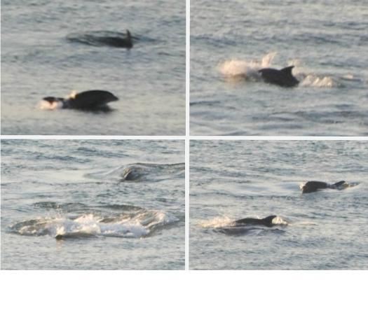 Marriott's OceanWatch Villas at Grande Dunes: 5:30am Balcony Dolphin Watching