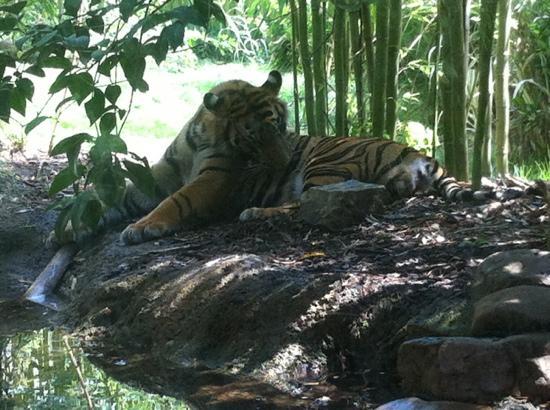 Zoo Atlanta: tiger