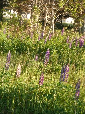 Island Life Cottages: lupins - cabins in distance