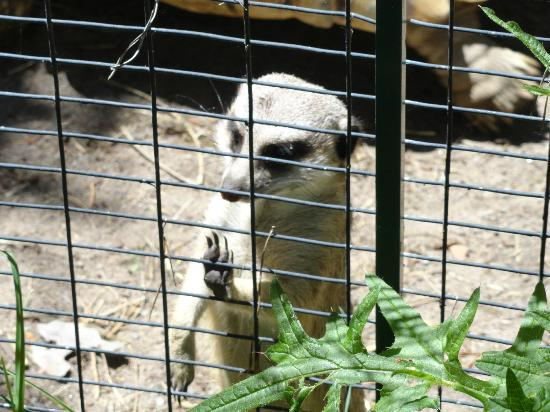 Riverview Park and Zoo : Meerkat looking out through the fence.