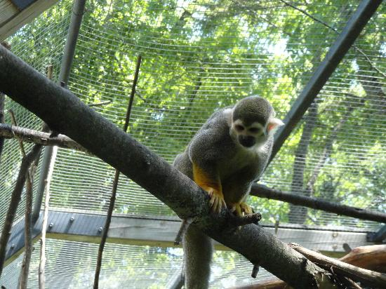 Riverview Park and Zoo : Squirrel Monkey hanging aroung in the trees.
