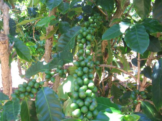 Kalaheo, Гавайи: ripening coffee beans