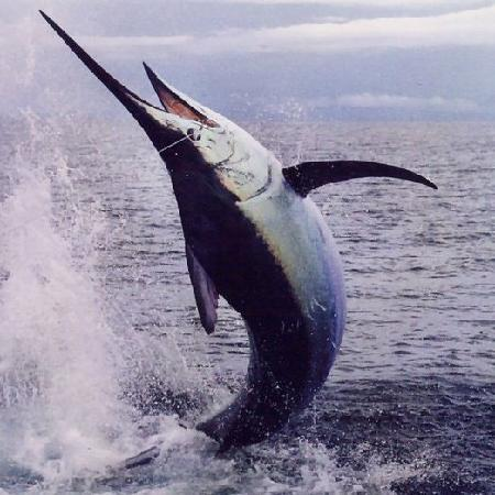 Boca Chica, Panama: Black Marlin fighting hard