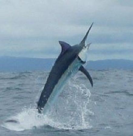 Huge Black Marlin - Picture of Panama Big Game Fishing ...