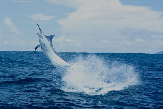 Panama Big Game Fishing Club Day Tours: Nice Blue Airborne