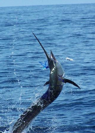 Panama Big Game Fishing Club Day Tours: sailfish