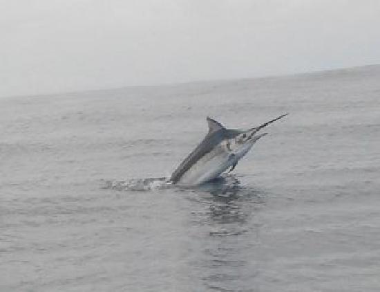 Panama Big Game Fishing Club Day Tours: Marlin in the Morning