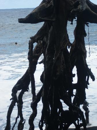 Kalani: Große Baumwurzel am dichtgelegenen Strand