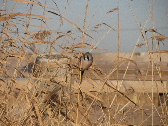 Rainham Marshes: Bearded reedling-an elusive reedbed bird.