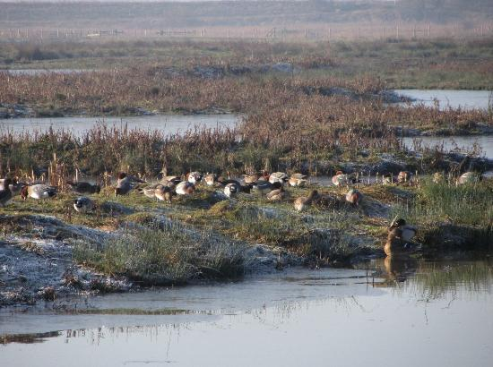 Rainham Marshes: A flock of ducks-Wigeon, Teal, mallard and Gadwall