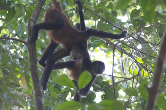 La Leona Eco Lodge: Spider monkeys in the Park