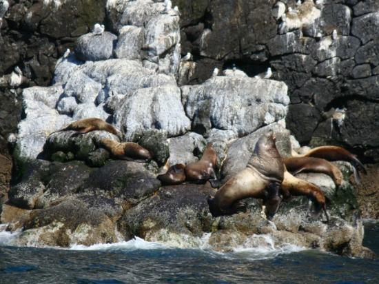 Alaska Fjord Charters: Sea Lions on their Rookery