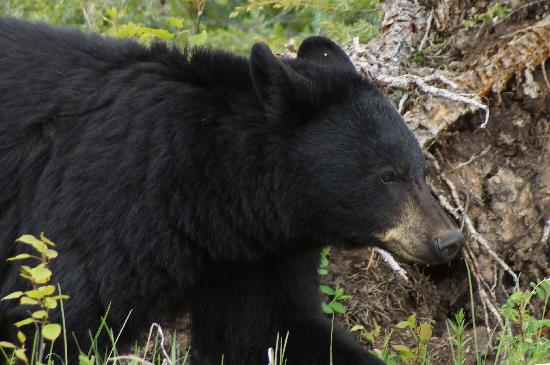 Wyndswept Bed and Breakfast: Black Bear