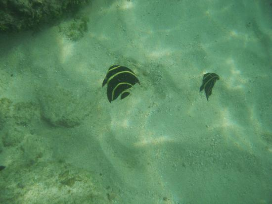 Turquoise Shell Inn: Angel fish in Simpson Bay