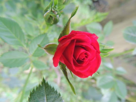 Rosebud in garden of Yew Tree House