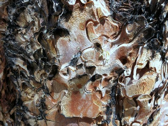Outspire Hiking and Snowshoeing: Ponderosa Pine Bark