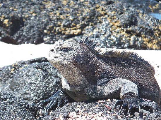 Galapagos Unbound: Marine iguana basking at playa del amour on Santa Cruz