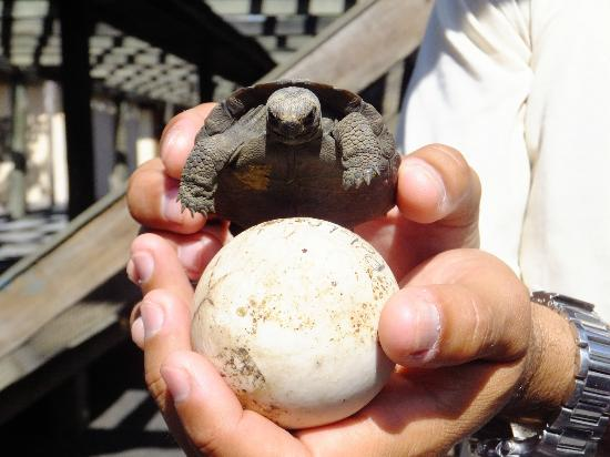 San Cristobal, Ecuador: Baby land tortoise with egg