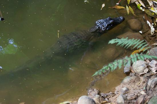 Hacienda La Isla Lodge: alligator