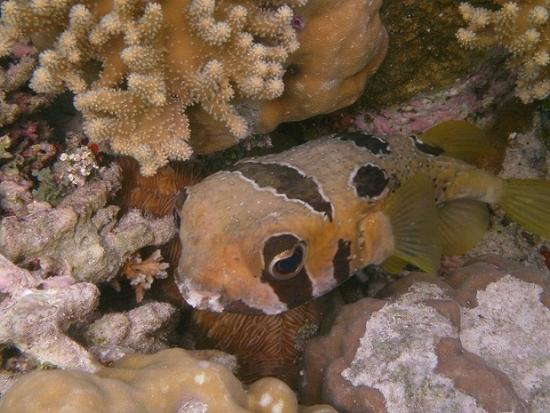 Wakatobi Dive Resort: Spotted Puffer at Cleaning Station