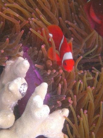 Wakatobi Dive Resort: Many varieties of Clown and Anemone fish, House Reef