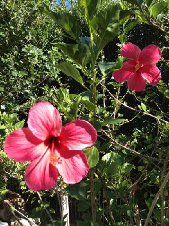Hacienda Hot Springs Inn: hibiscus on grounds