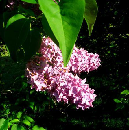 Highland Park: Lilacs