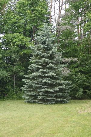 Rocky Acres Inn B&B: Beautiful Blue Spruce in front of B&B